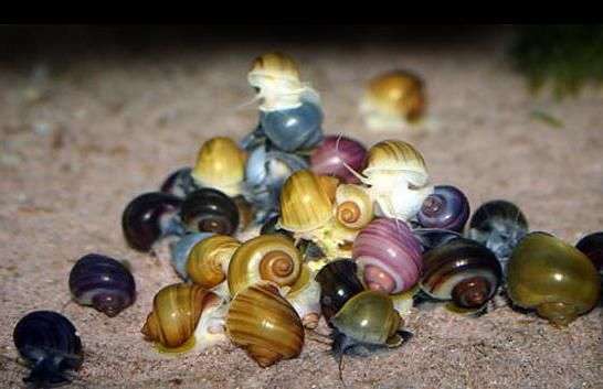 Фото - Акваріумні равлики ампулярій: утримання та догляд, розведення