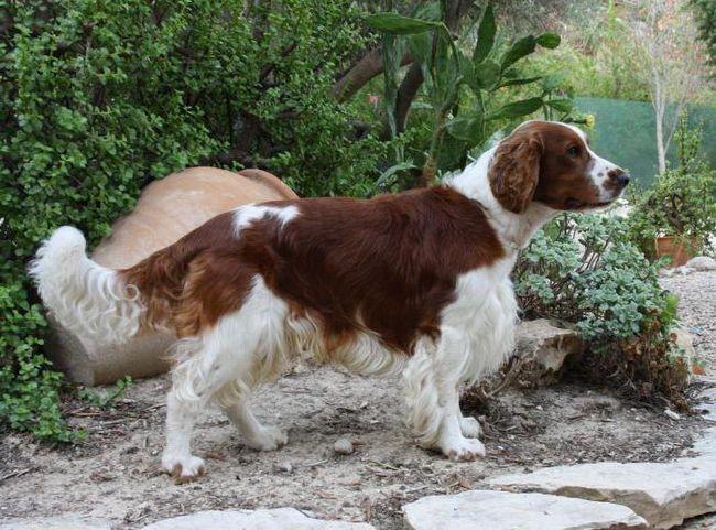Фото - Англійська кокер-спанієль: опис породи. Характер собаки, зміст, дресирування