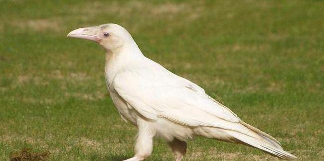 біла ворона значення фразеологізму приклад