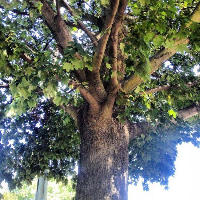 Фото - Береза Шмідта. Особливості деревини берези Шмідта