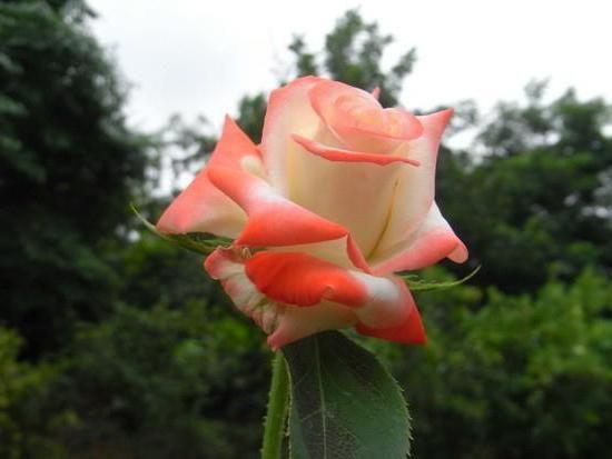 Фото - Чайно-гібридна троянда Імператриця Фарах: опис сорту, відгуки