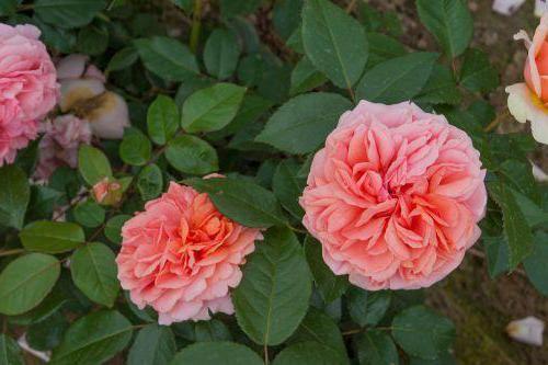 Фото - Чіппендейл - троянда як твір мистецтва