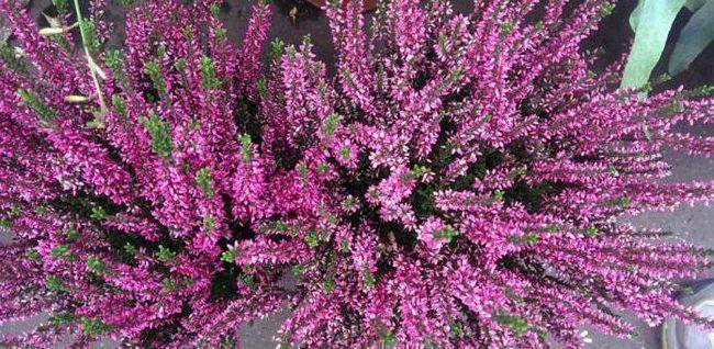 Фото - Квітка верес в домашніх умовах: вирощування, догляд, розмноження і цілющі властивості