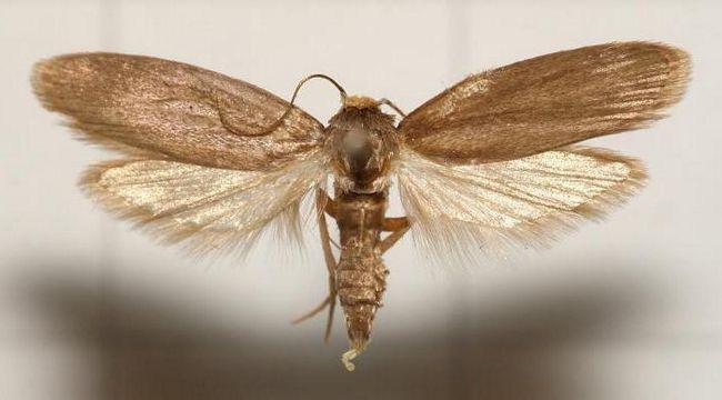 Фото - Для чого застосовується огневка бджолина? Настоянка: спосіб застосування