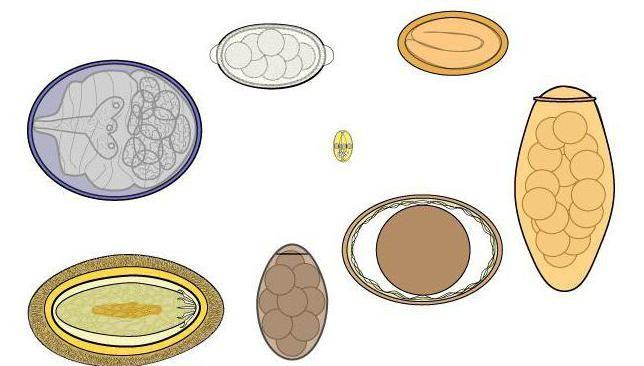 як здають аналіз калу на яйця глистів