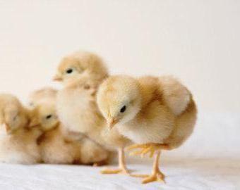Фото - Вивчаємо домашніх тварин: загадка про курчаті