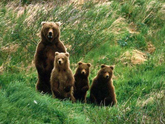до чого сняться ведмедиця з ведмежатами