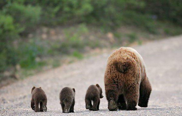 сонник ведмедиця з ведмежатами до чого сниться