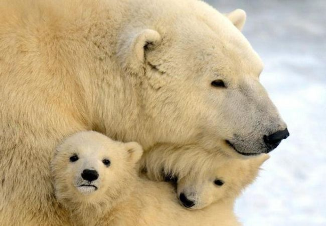 сниться ведмедиця рятує ведмежати