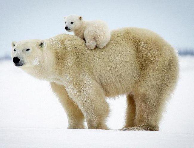 до чого сниться ведмедиця з ведмежатами дівчині