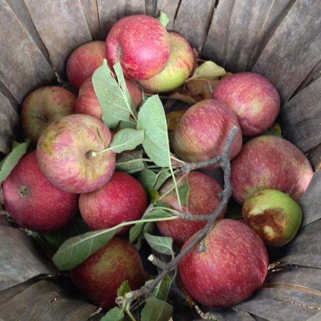 як зробити пристосування для збору яблук