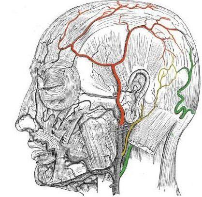 анатомія вуха людини