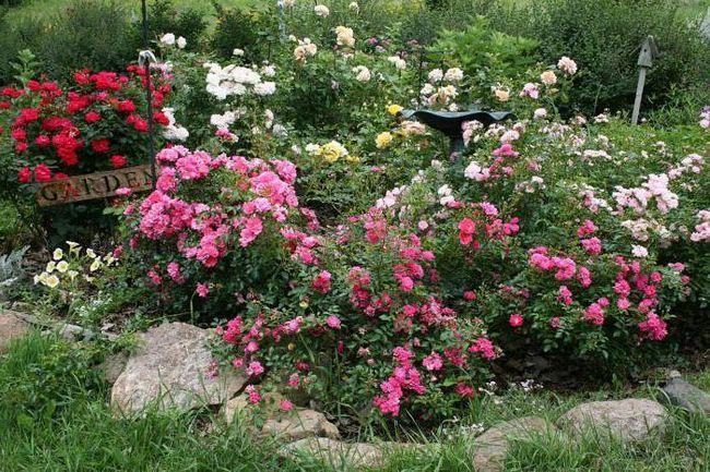 коли краще садити троянди навесні або восени
