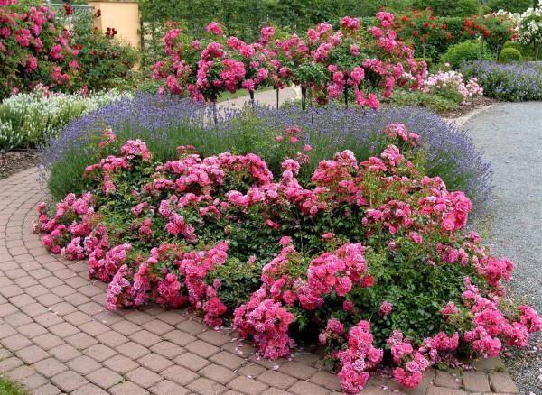 коли краще садити плетистую троянду