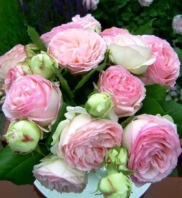в яку пору року краще саджати троянди