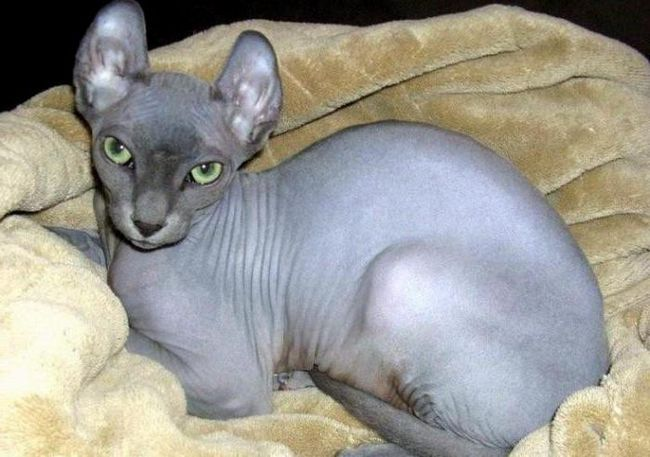 кішка Ельф