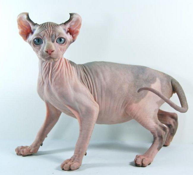 порода кішок Ельф фото