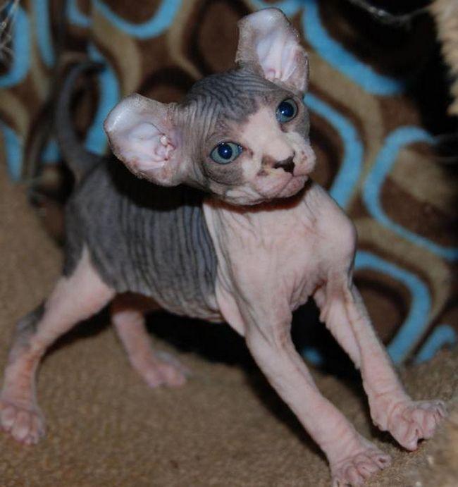 кішки породи Ельф