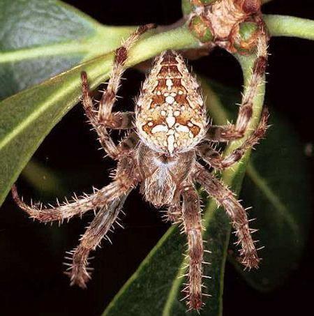 Небезпечні павуки