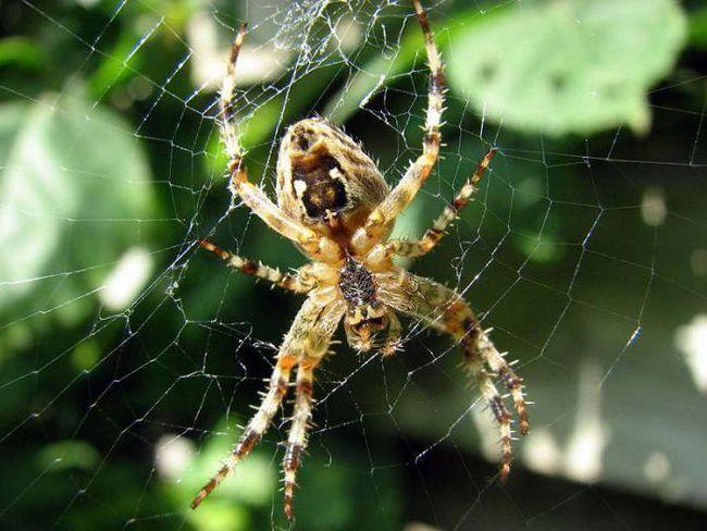 Павутина хрестовика