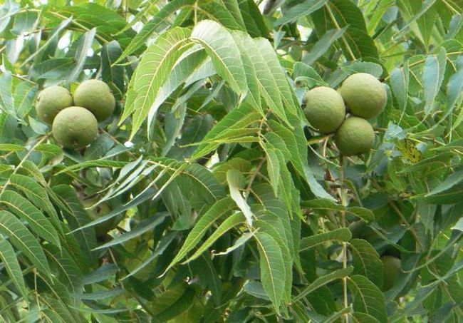 Фото - Листя волоського горіха: корисні властивості і протипоказання