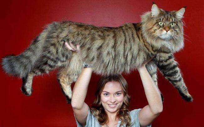 Фото - Кращий корм для мейн-кунів: поради ветеринара. Чим годувати мейн-кунів?
