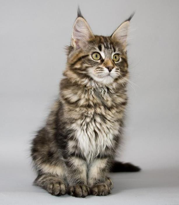 мейн кун кішка