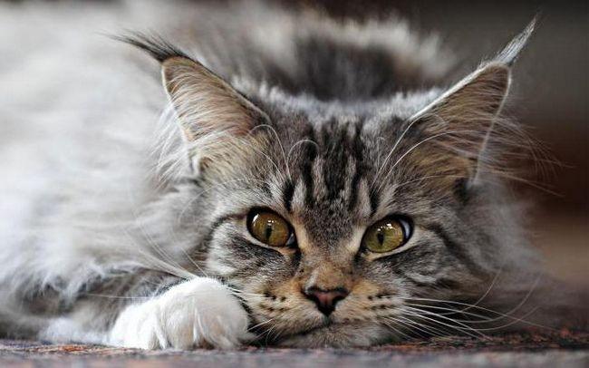 порода кішок мейн кун