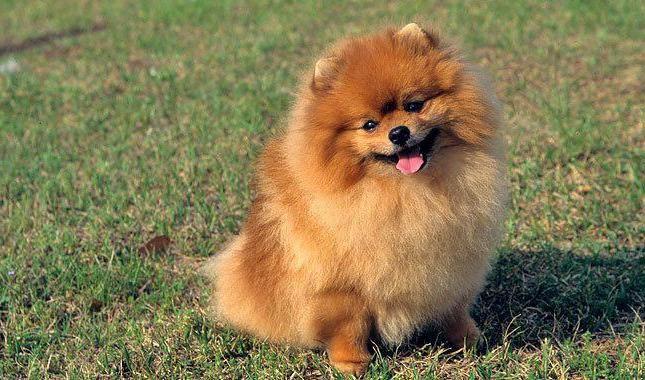 порода собак померанський шпіц