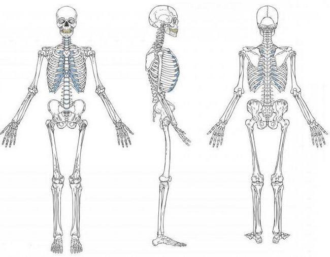 Фото - Опорно-рухова система: функції і будова. Розвиток опорно-рухового апарату людини