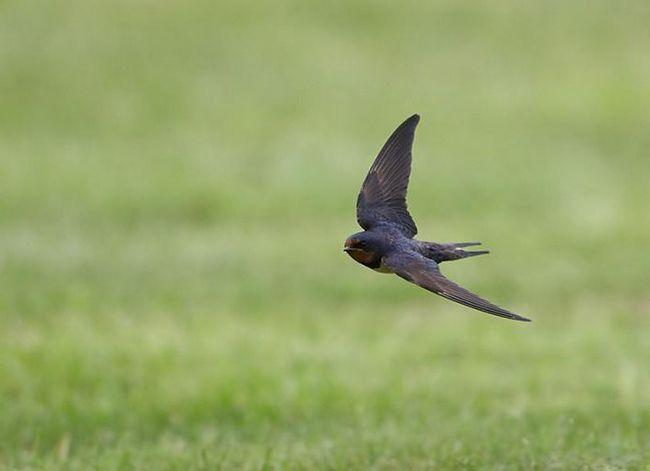 чому ластівки літають низько перед дощем