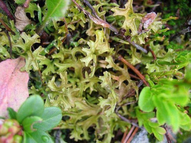 Ісландський мох, відгуки