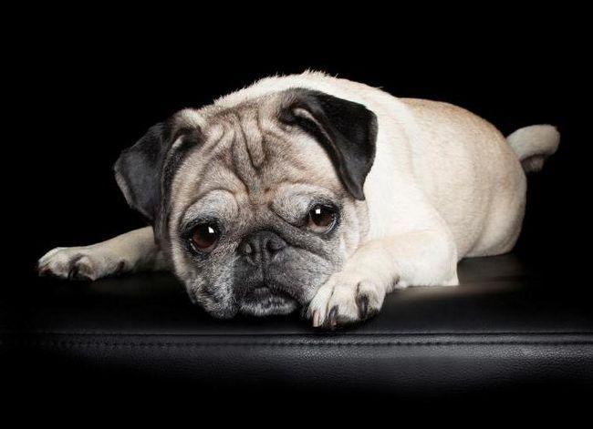 протафан інструкція із застосування для собак