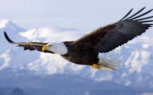 Фото - Птахи-довгожителі, або Скільки живе орел