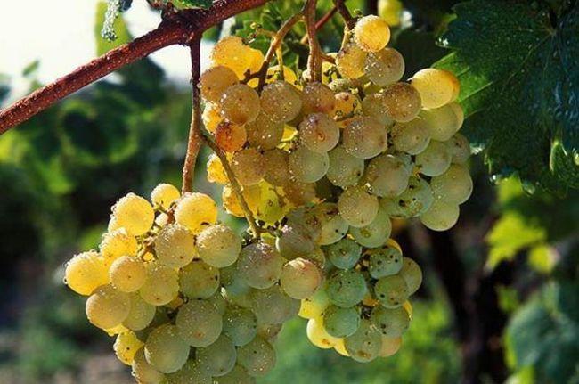 Сапераві вино ціна