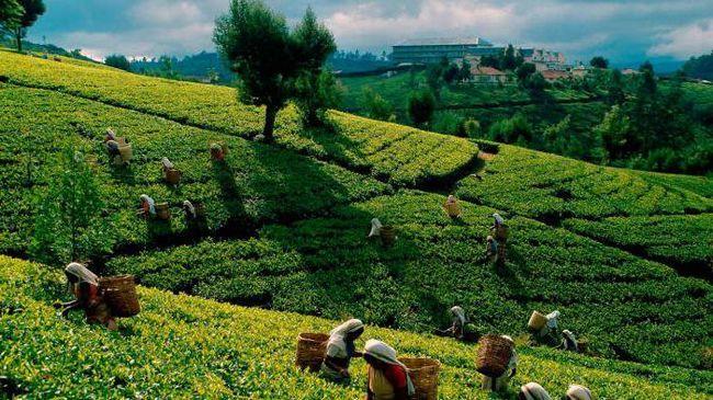 цейлонський зелений чай