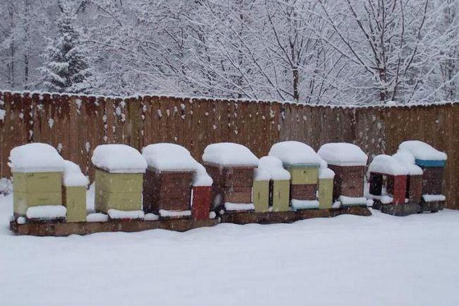 зимівля бджіл на вулиці в сибіру
