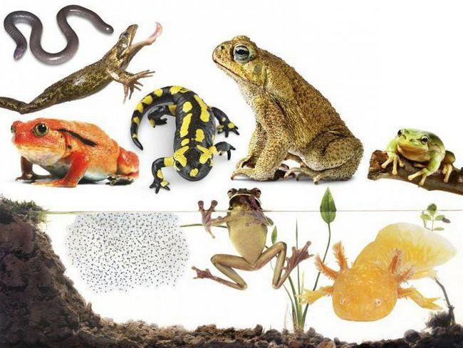 різноманіття земноводних і їх охорона